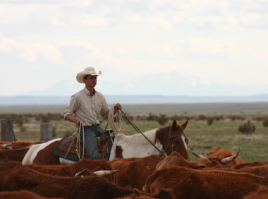 Cowboy rounding up cattle in Colorado with American Round-Up