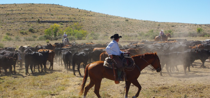 Best Cattle Drives in New Mexico with American Round-Up