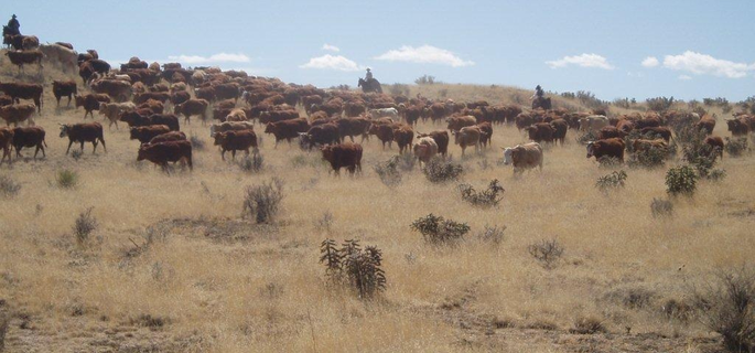 Moving cattle in Colorado with American Round-Up