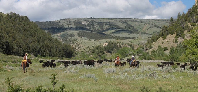 Cattle and Horse drives in Montana