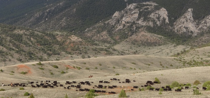 Wyoming cattle drive for an authentic ranch experience