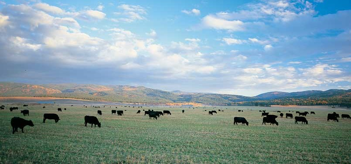 Montana luxury ranch with cattle