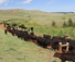Cattle moving in montana